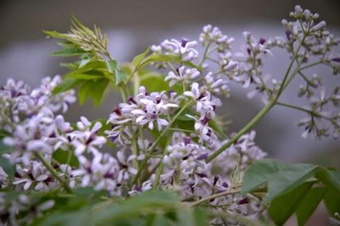 Những bài thơ hay về hoa xoan