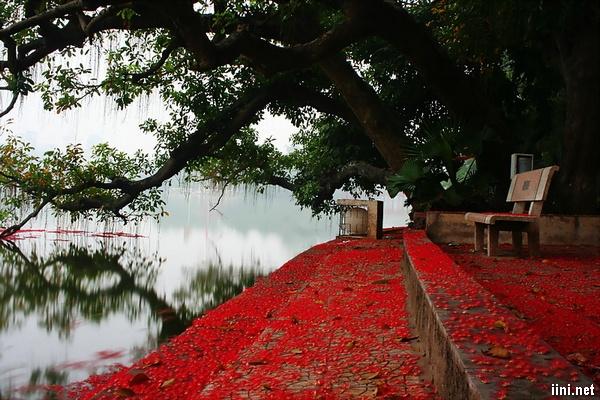 hoa lộc vừng rụng đỏ bờ hồ Gươm