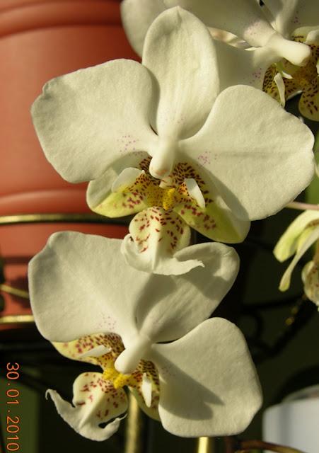 Растения из Тюмени. Краткий обзор - Страница 7 Phalaenopsis%252520stuartiana2