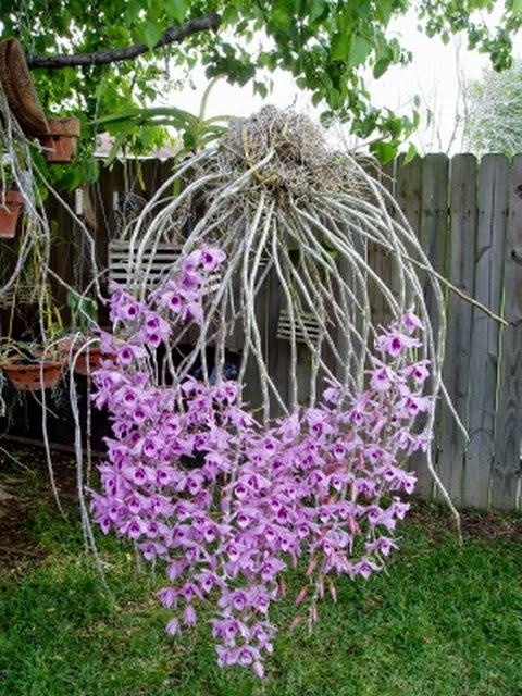 những giò Phi điệp tím to đến mùa hoa làm mọi người phải trầm trồ