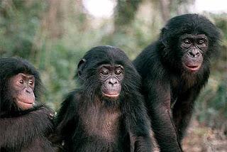 Des bonobos dans leur endroit de vie naturel après leur réintroduction