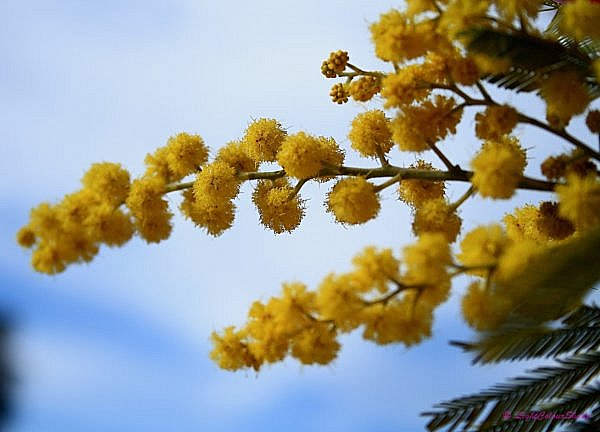 yellow mimosa flowers cluster