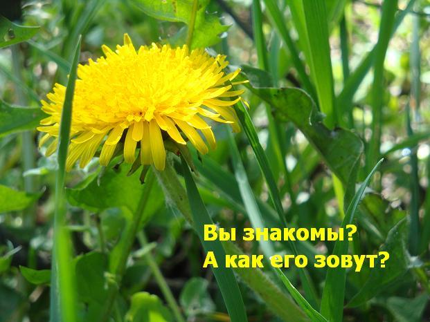 одуванчик желтый