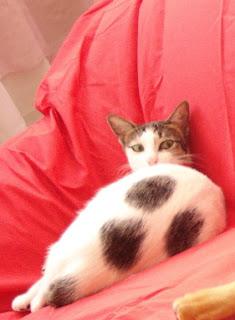 Munchkin - Teecup's cat