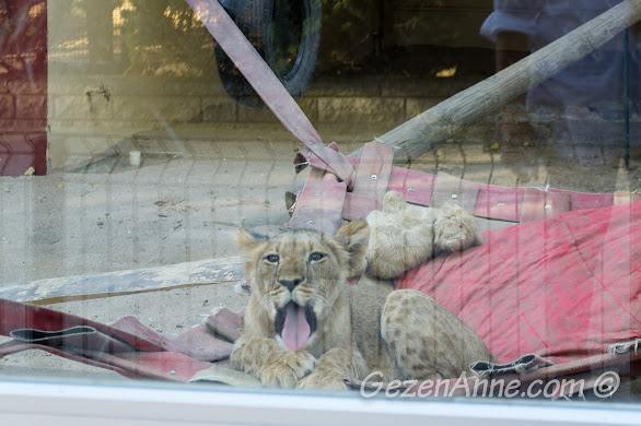Darıca Hayvanat Bahçesi'ndeki yavru aslan