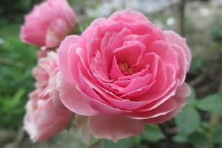 Hoa hồng leo Pomponella Rose nở hoa cực kì quyến rũ