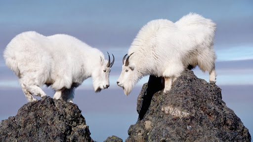 Twin Rocky Mountain Goats, Olympic National Park, Washington.jpg