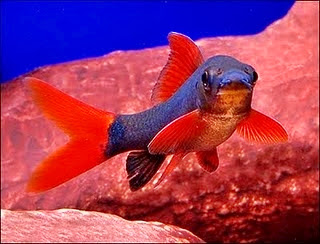 Jenis-jenis Ikan Redfin