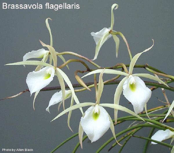 Растения из Тюмени. Краткий обзор Brassavola_flagellaris