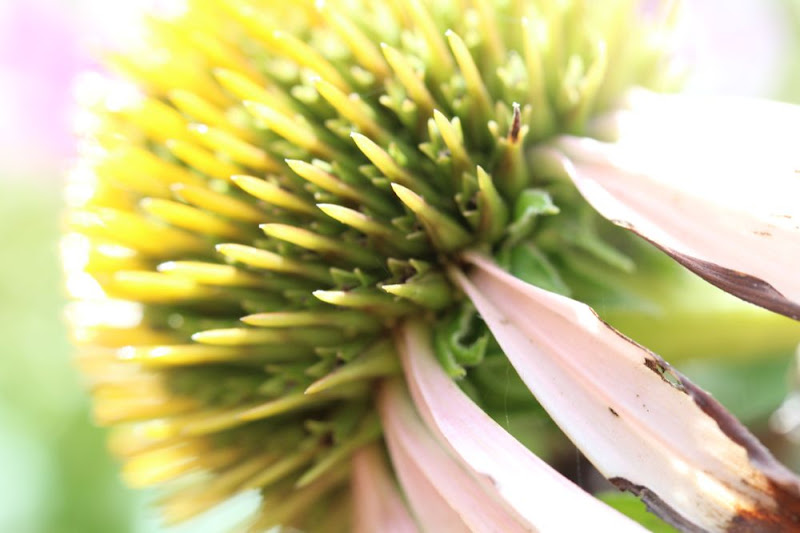 closeup of a faded echinacea flower