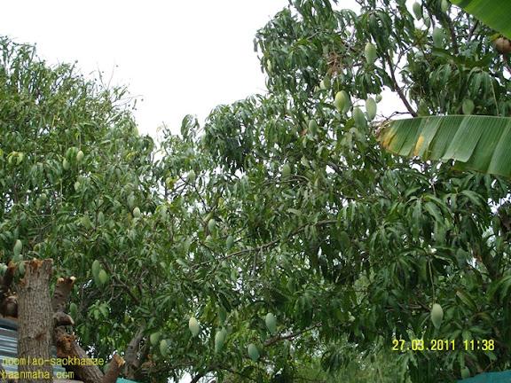 ผลดี ของการติดตา เสียบยอด บนต้นตอ มะม่วงกะล่อน
