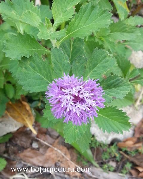 Centratherum punctatum flower