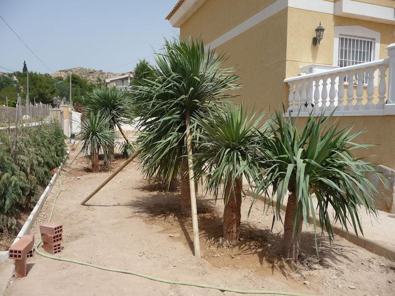 ejecución jardín diseño proyecto jardinería paisajismo san vicente alicante Dragos Dracaena grago