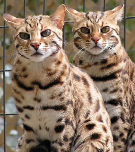 asiankittunz | Beginners guide to adopting a Bengal cat