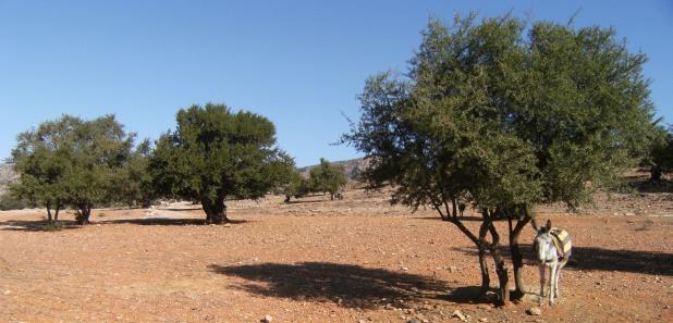 Esel unter Argan-Bäumen