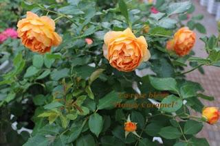 Một khóm hoa hồng Honey Caramel