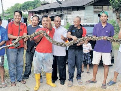 ular makan ayam