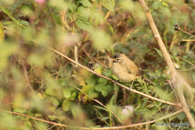04-Dec-2011 Booted Warbler Pic: Harish Mahendrakar