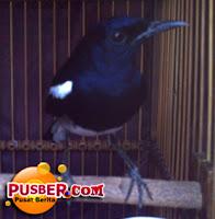 Jenis Burung Kacer Kalimantan