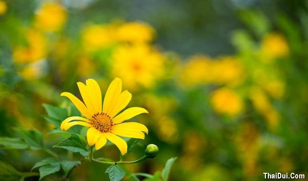 thơ kỷ niệm hoa dã quỳ hay