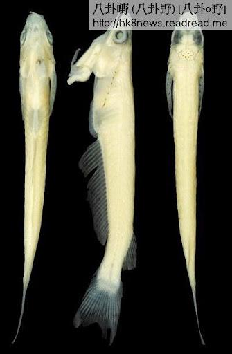 越南喉交魚