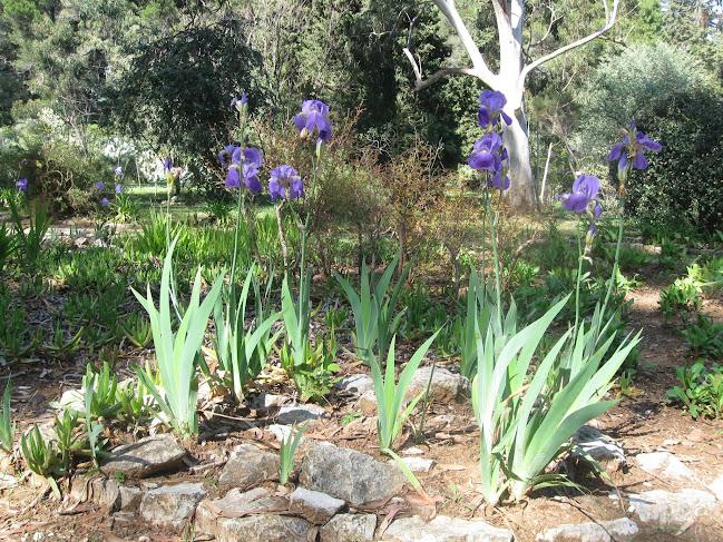 Irises on Lapad Island, Dubronik