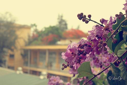 Ảnh hoa tím bằng lăng bên sân trường