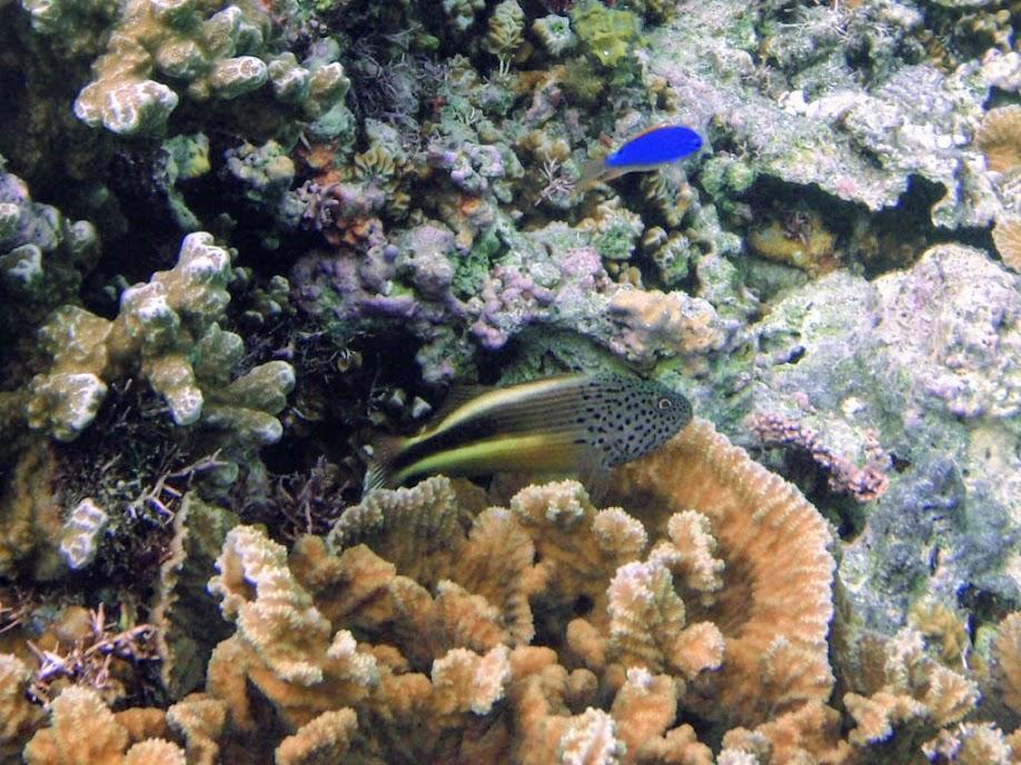 Paracirrhites forsteri (Freckled Hawkfish), Naigani Island, Fiji.