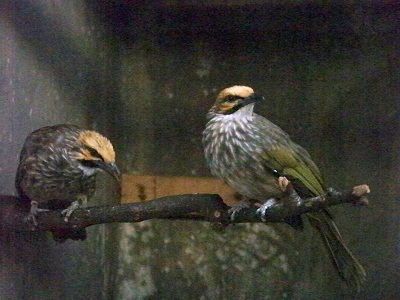 Budidaya dan Ternak: Cara Membedakan Burung Cucak Rowo