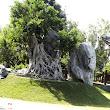 43  prekrásny fikus s obrovským vápencovým prírodným suiseky.JPG