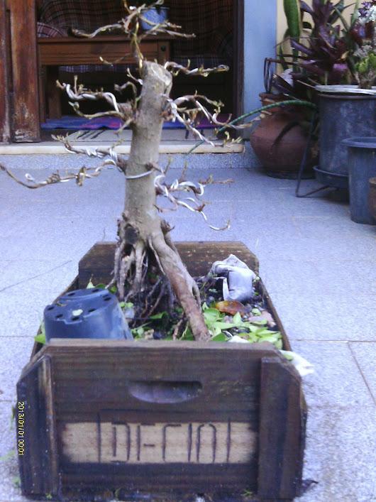 Ficus Microcarpa var. Indica... IMAG0328