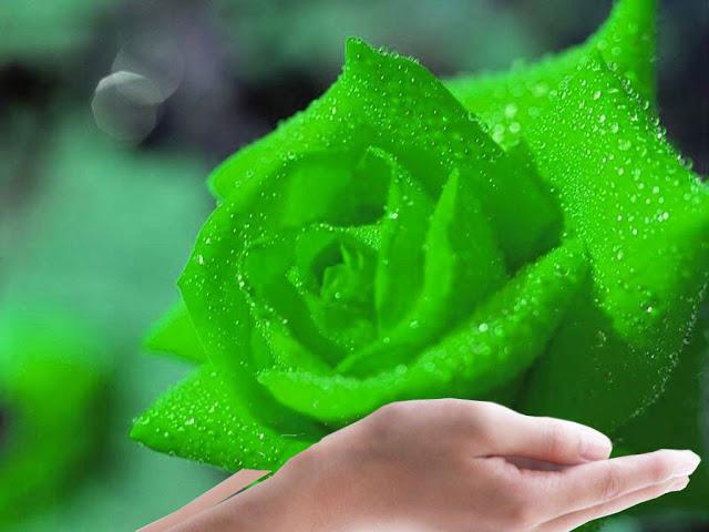 hinh nen hoa hong xanh