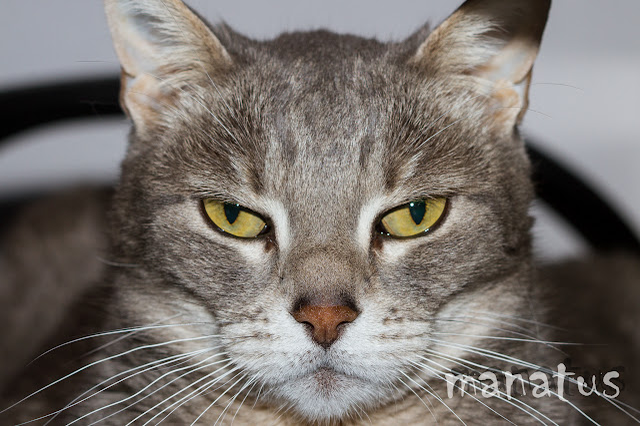 manatus foto blog mascotas gato ricarda