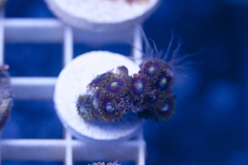CRW 3929 - SPS and Zoa frag packs