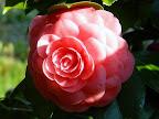 濃桃色地 白斑入り 八重咲き 大輪