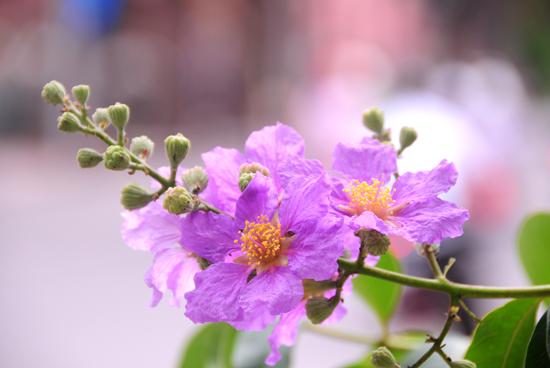 Ảnh hoa bằng lăng đẹp
