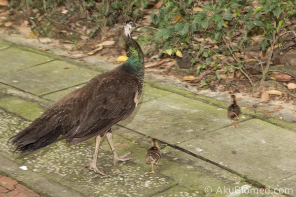 peafowl @ peacock