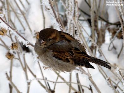 peisaj de iarna cu vrabiuta