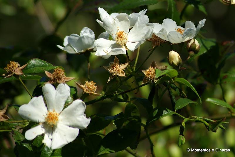 Rosas silvestre