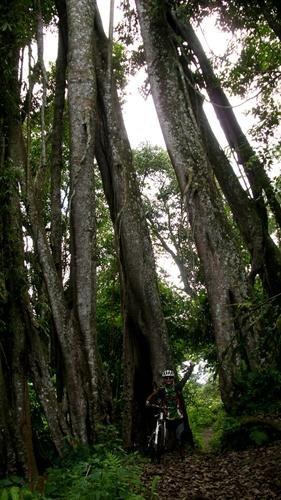 Fotoku di bawah pohon besar di tengah hutan Sirah Kencong.