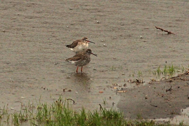Fluierar cu picioare rosii negru Comana ploaie pasari birdwatching