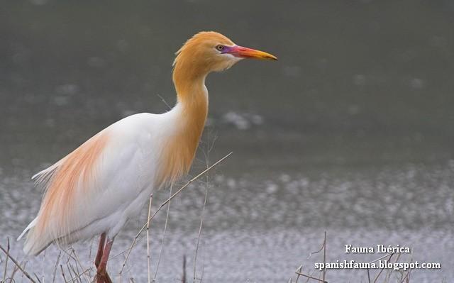 La garcilla bueyera, garza ganadera o garza boyera (Bubulcus ibis) es una especie de ave pelecaniforme de la familia Ardeidae que vive en todas las zonas tropicales, subtropicales y templadas del planeta. (Esplugabous, Garza boieira, Garza mediana, Lertxuntxo itzain, Cattle Egret, Héron garde-bœufs, Kuhreiher, Airone guardabuoi, Koereiger, Kohejre, Lehmähaikara, Kuhegre, Garça-vaqueira, Garça-boieira, Cunacoi, Cupara, Carraceira, Czapla złotawa, Czapelka, Czapelka złotawa, Pásztorgém, Kohäger, Garanîk, Kuntul Kerbau, Veereier, Ibiškasis garnys, Volavka rusohlavá, Misir vağı, Lopu gārnis, Čaplja govedarica, Sığır balıkçılı, Cò ma, Египетская цапля, Егіпецкая чапля, Биволска чапла, Чапля єгипетська)