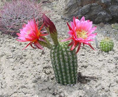 Chùm thơ hay viết về loài cây hoa xương rồng