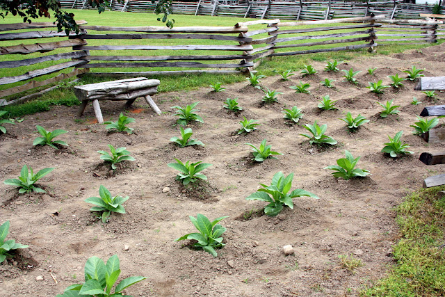 Tobacco crops in the Colonial Farm