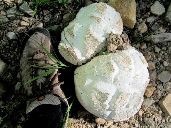 Giant puffball near the trailhead