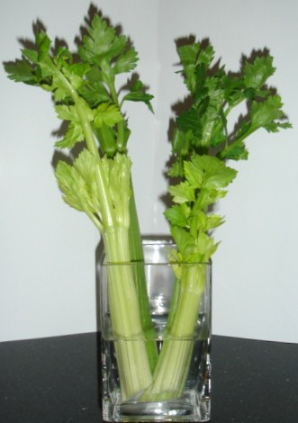 how to grow celery from stalk in water
