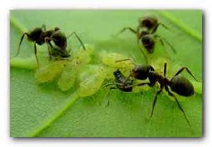 садовые муравьи и тля