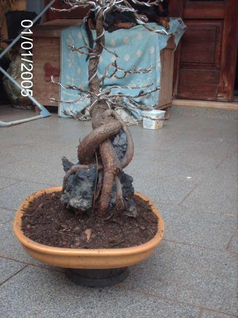Ficus Nerifolia, Uma raiz de 3 anos... PICT1071