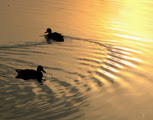 ducks,photo,утки,отражение,