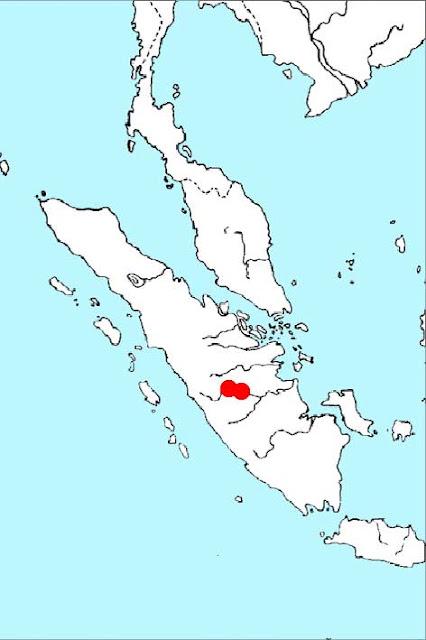 Криптокорина сердцевидная Дерика (Cryptocoryne cordata var. diderici)